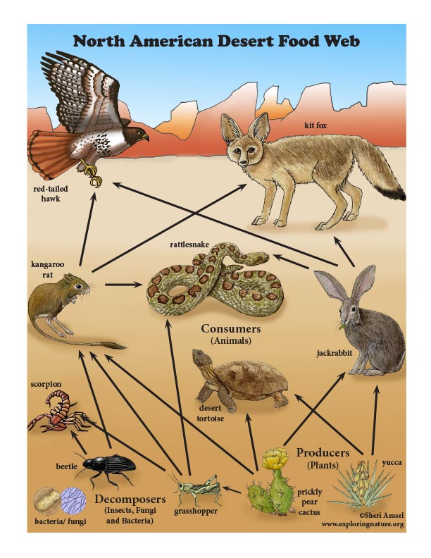 Desert Food Web Mini-Poster