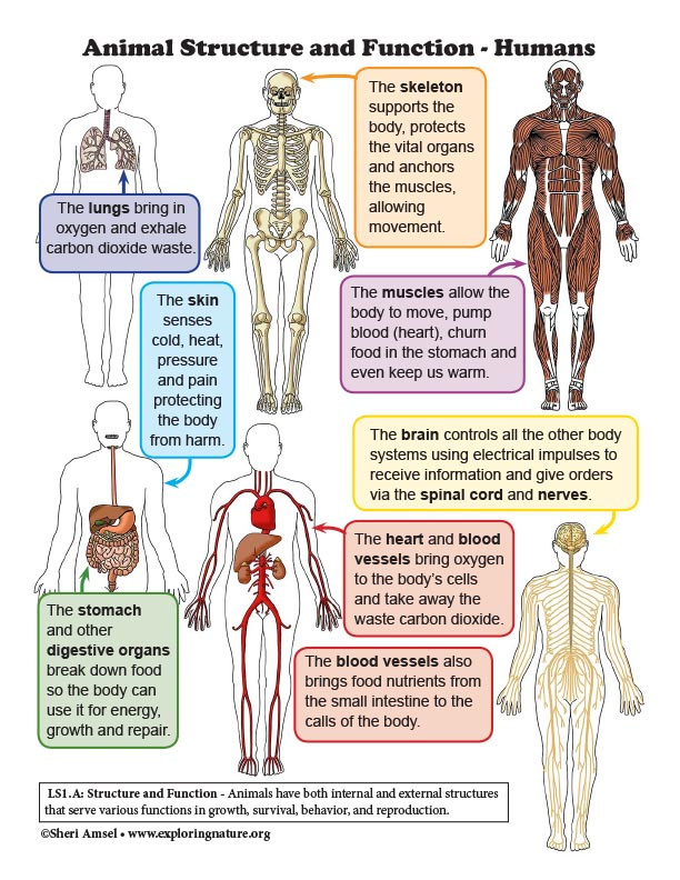 Animal Structure and Function - Humans - Mini-Poster