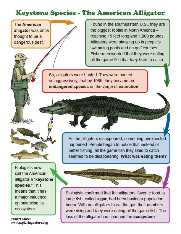 Keystone Species - The American Alligator - Mini-Poster