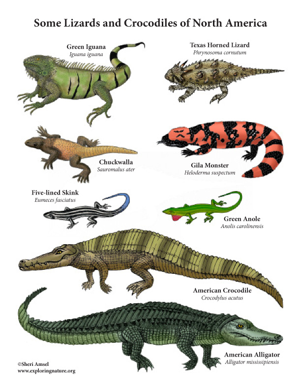 Lizards and Crocodiles of North America Mini-Poster