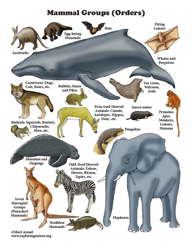 Mammal groups poster