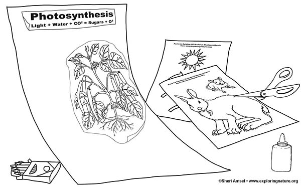 Photosynthesis Poster 2D Model for 3-5th Grade