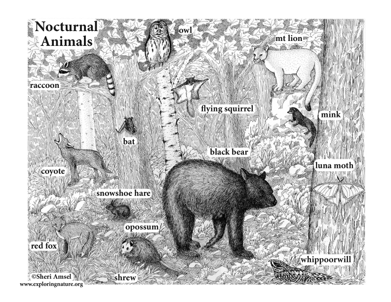 Nocturnal Animals Illustrated and Named