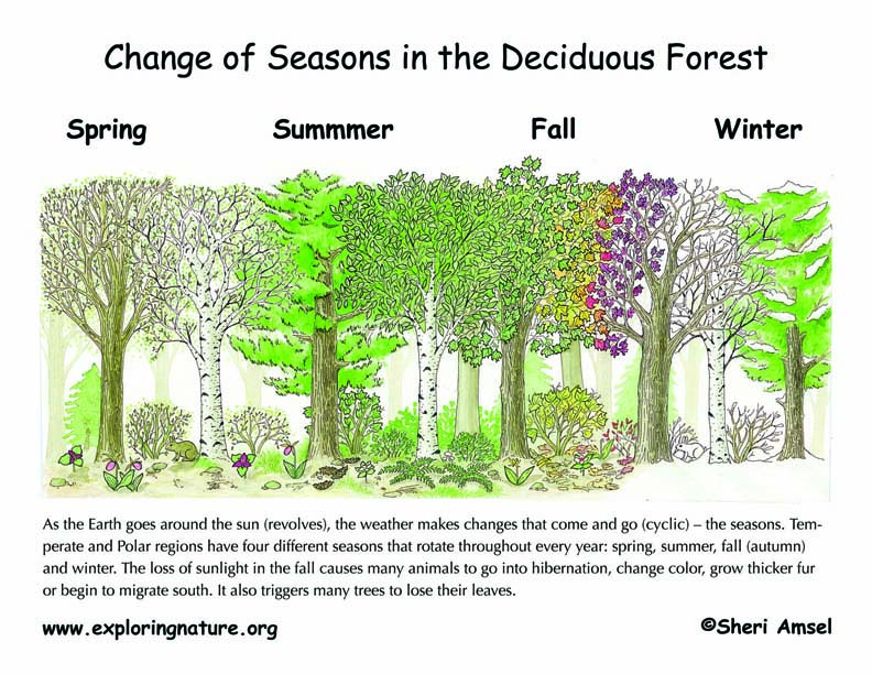 Changing Seasons in the Forest Illustrated and Explained