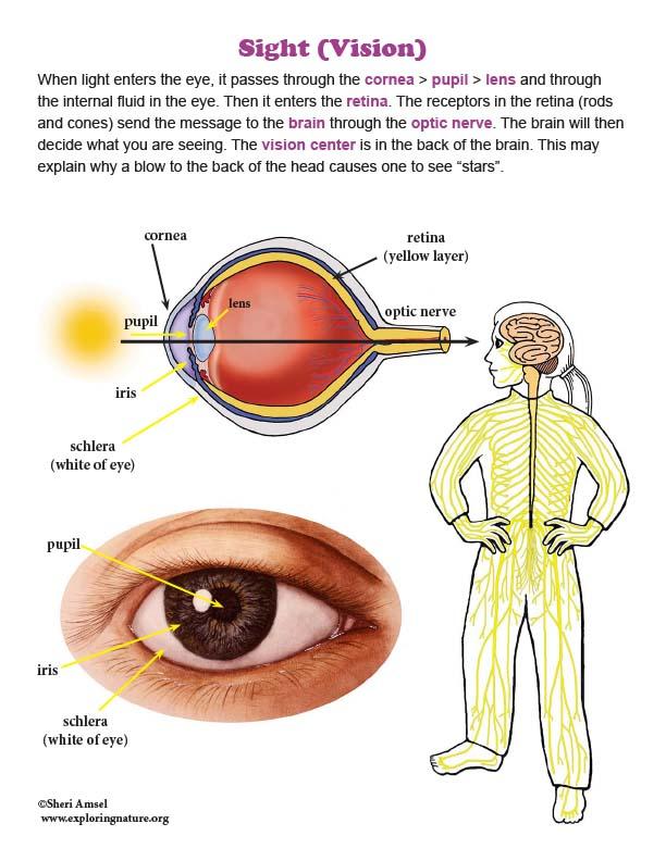 Sight (Vision) - Mini-Poster