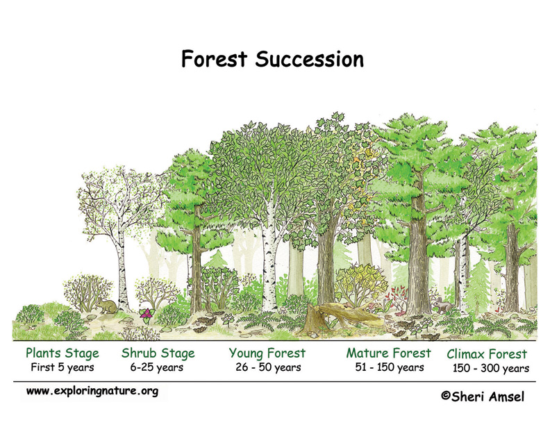 Forest Succession Illustrated and Labeled