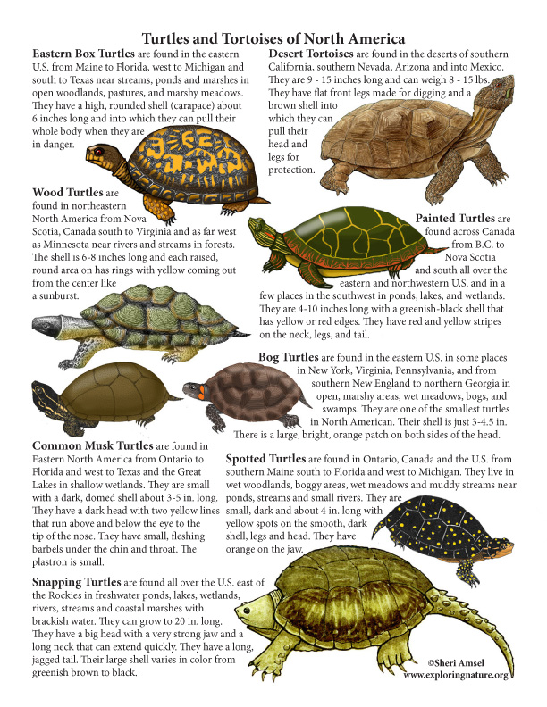 Turtles and Tortoises of North American Mini-Poster (with Text)