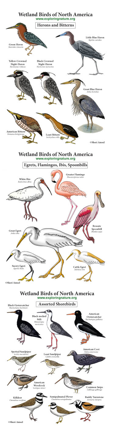 Wading and Shorebirds Giant Poster