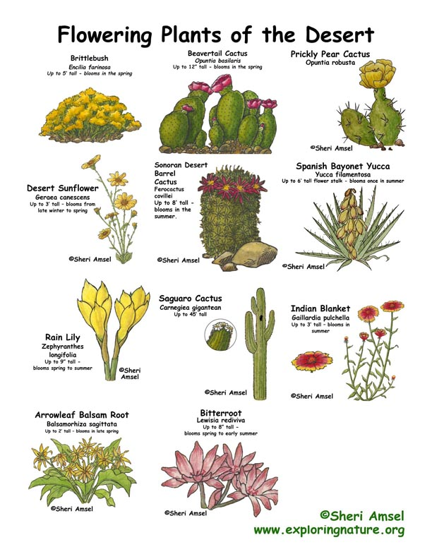 Desert Flowers Illustrated and Labeled