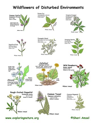 Wildflowers that Grow in Disturbed Environments