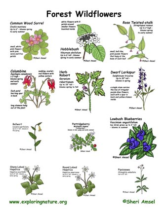 Wildflowers of the Forest