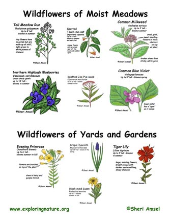 Wildflowers of Meadows, Yards and Gardens