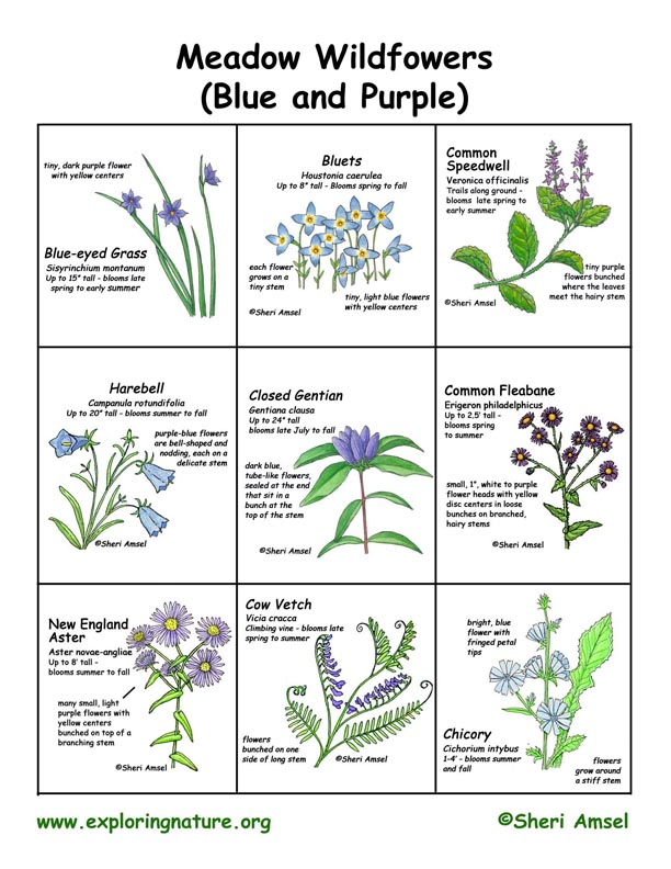 Wildflowers of Meadows (Purple and Blue)