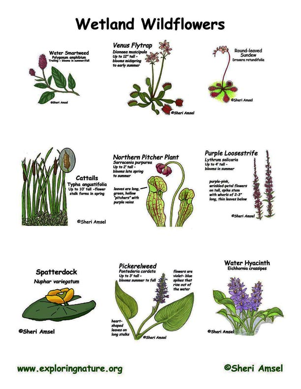 Wildflowers of Wetlands (Marshes, Ponds and Bogs)