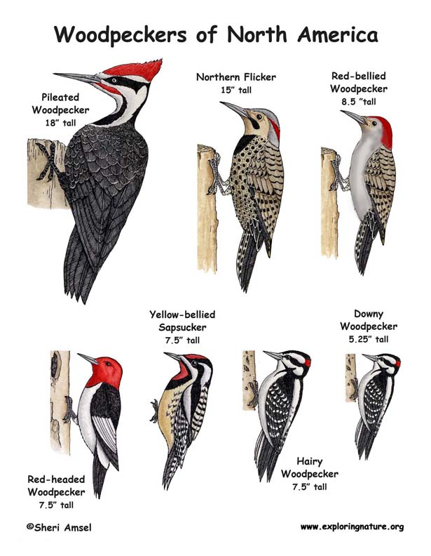 Woodpeckers of North America Illustrated and Named