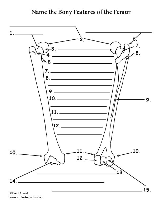 Bony Features of The Femur - Fill in the Blank