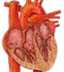 Blood Flow Through the Heart – Multiple Choice Test