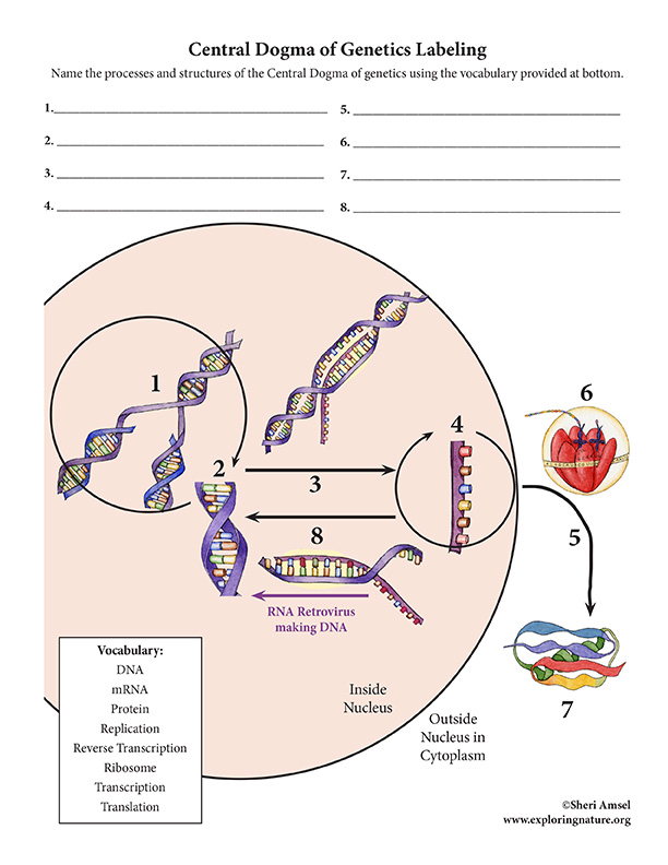 Central Dogma of Genetics Labeling Activity, Central Dogma of Genetics - Diagram Labeling