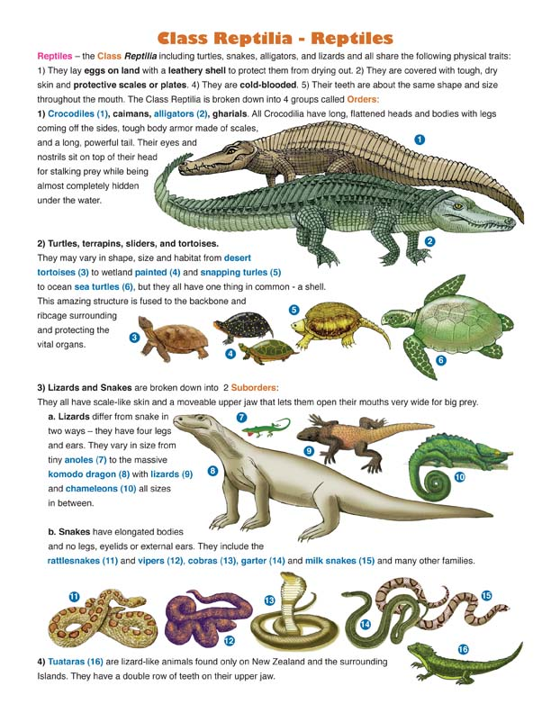 Reptile Classification Illustrated and Named