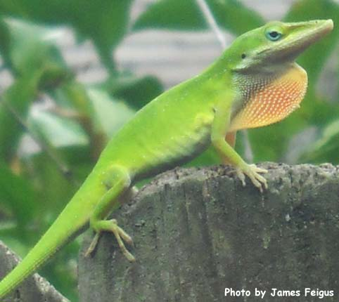 Anole (Green)