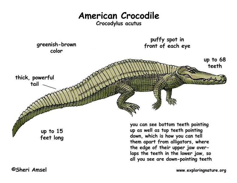 the background information on the american crocodile crocodiles acutus The american crocodile (crocodylus acutus) is a species of crocodilian found in the neotropics it is the most widespread of the four extant species of crocodiles .