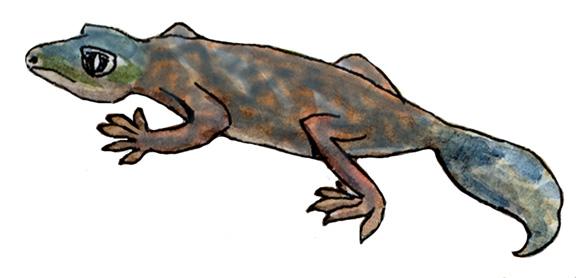 Gecko (Tokay)