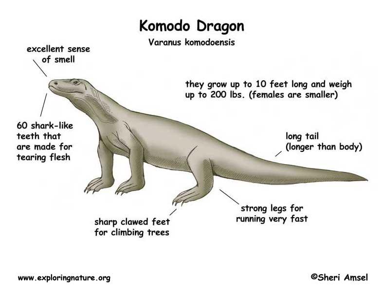 Description of your animal - Diya's Komodo Dragon