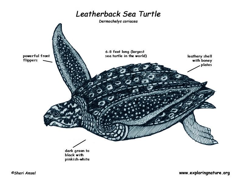 Survival Adaptations The Mysterious Leatherback Sea Turtle