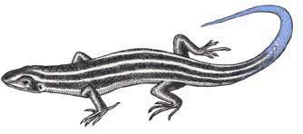Skink (Five-Lined)