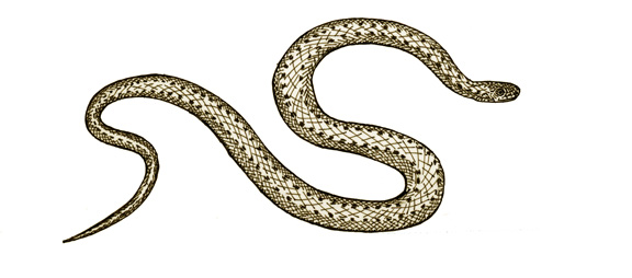Snake (Northern Brown)