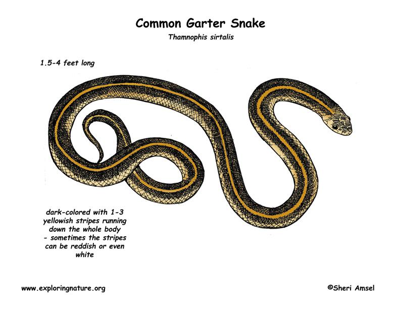 Garter Snake Diagram