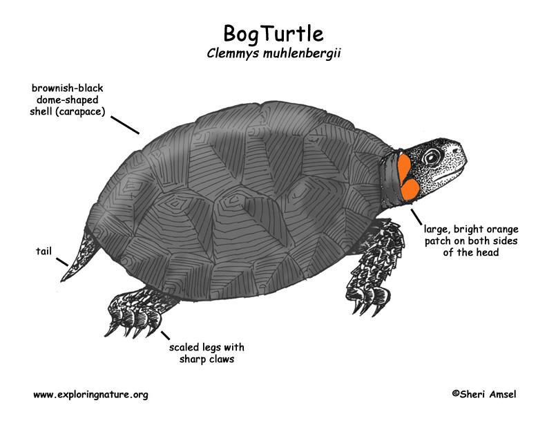 Turtle (Bog)