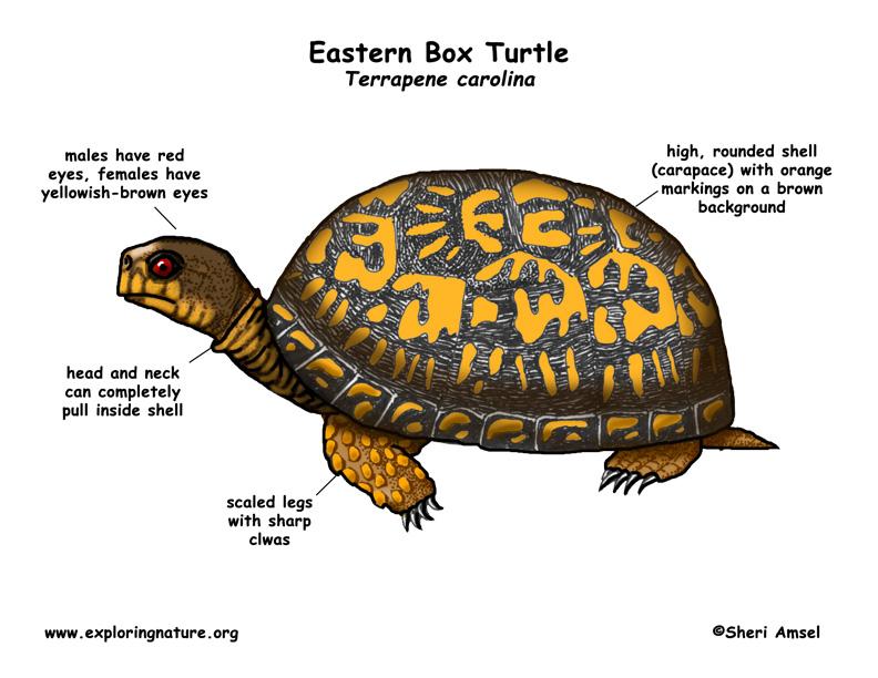 Turtle (Eastern Box)