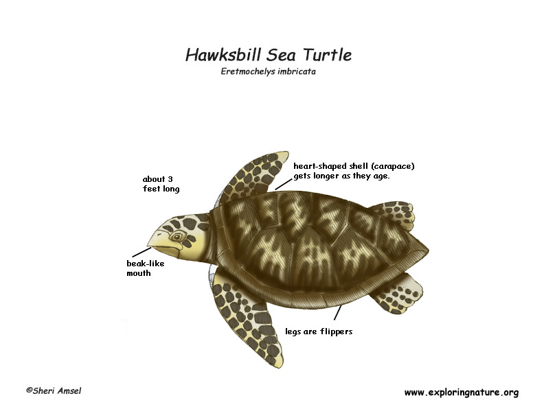 Diagram Of A Sea Colored Sea Turtle - Online Schematic Diagram •