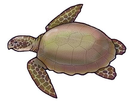 Sea Turtle (Loggerhead)