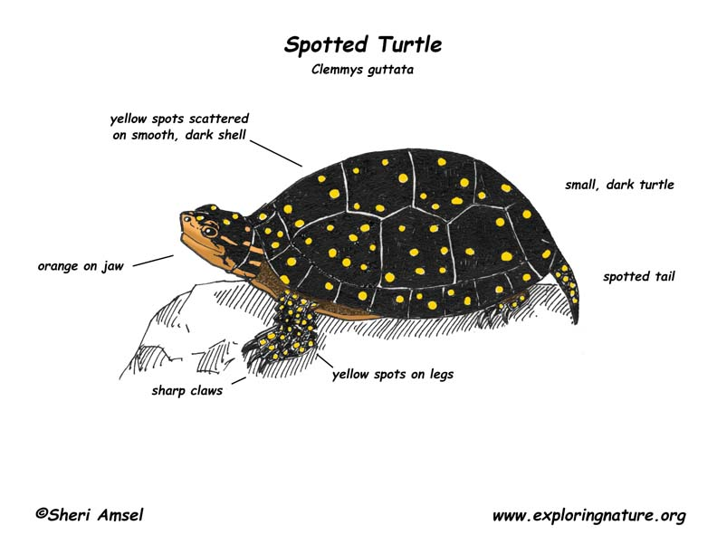 Turtle (Spotted)