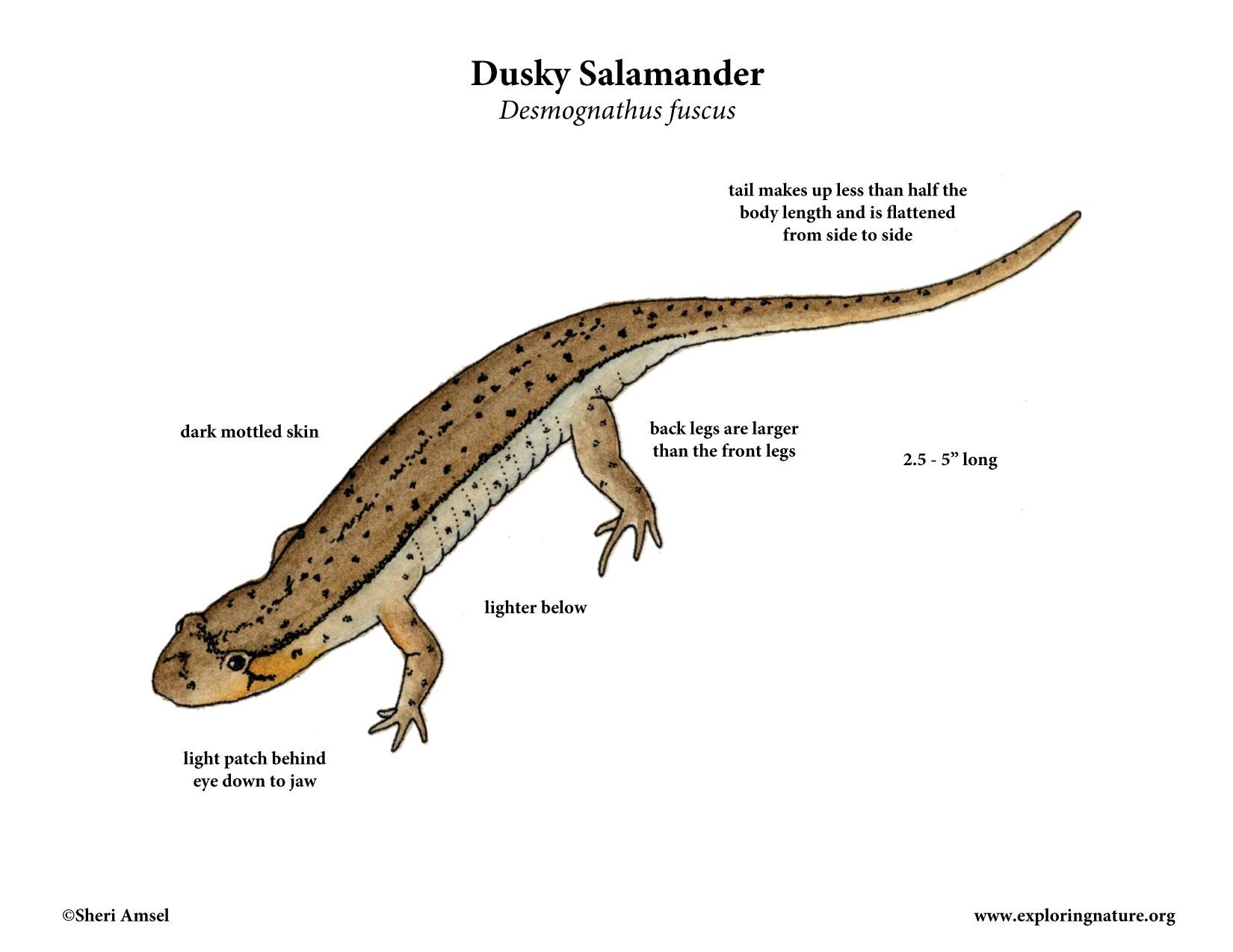 dusky salamander diagram
