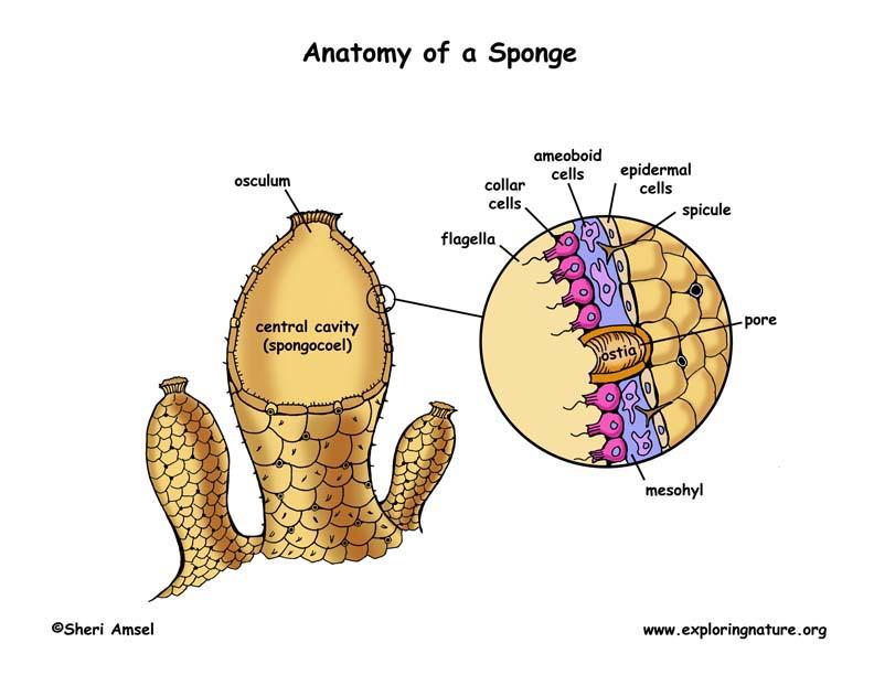 Phylum  Porifera     Sponges