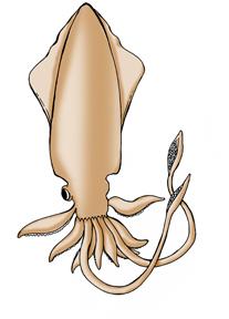 Squid (Giant)