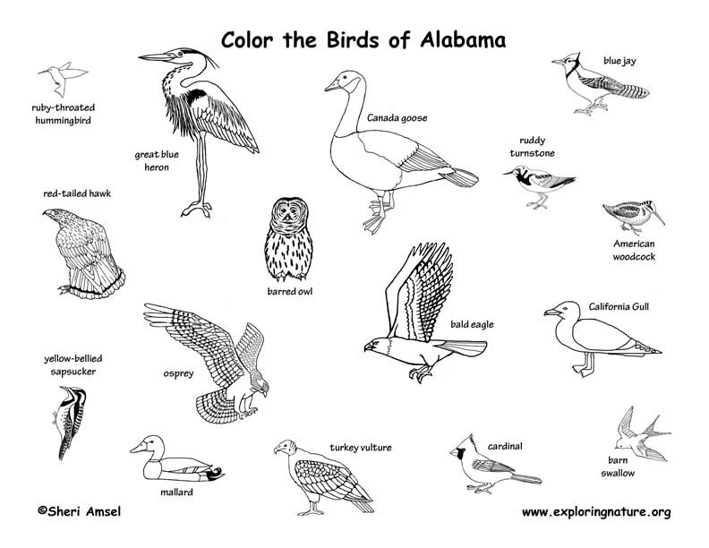 Alabama Habitats Mammals Birds Amphibians Reptiles North American Bald Eagle Coloring Page From Category Select 27252 Printable