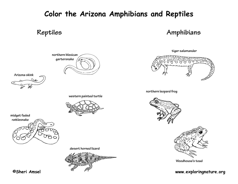 Arizona amphibians coloring page, arizona reptiles coloring page