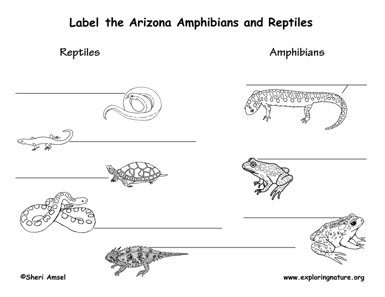 Arizona amphibians labeling page, arizona reptiles labeling page