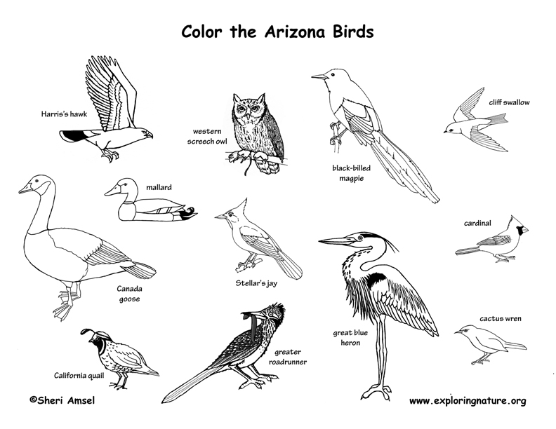 Arizona birds coloring page