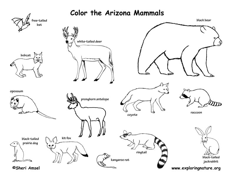 Arizona mammals coloring page