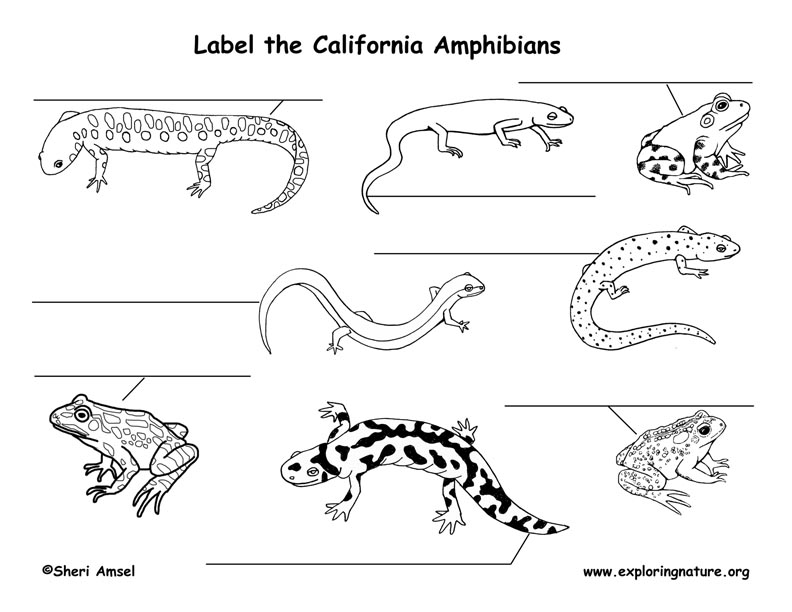 California Amphibans Labeling Page