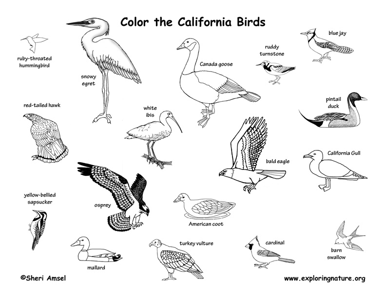 coloring birds of this state california