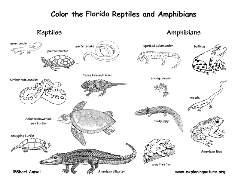 coloring pages for reptiles alligators - photo#31