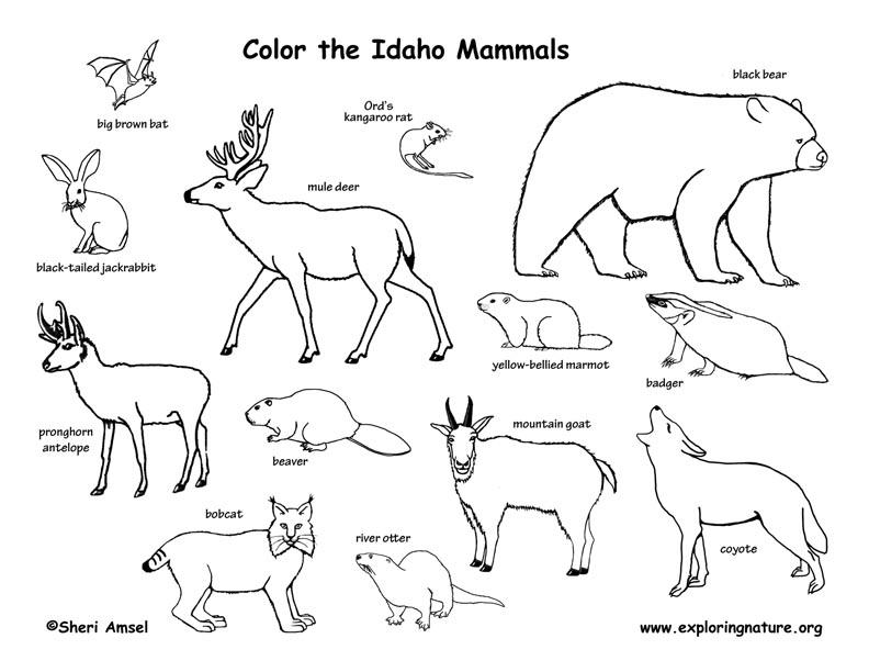 Idaho habitats mammals birds amphibians reptiles for Idaho state bird coloring page