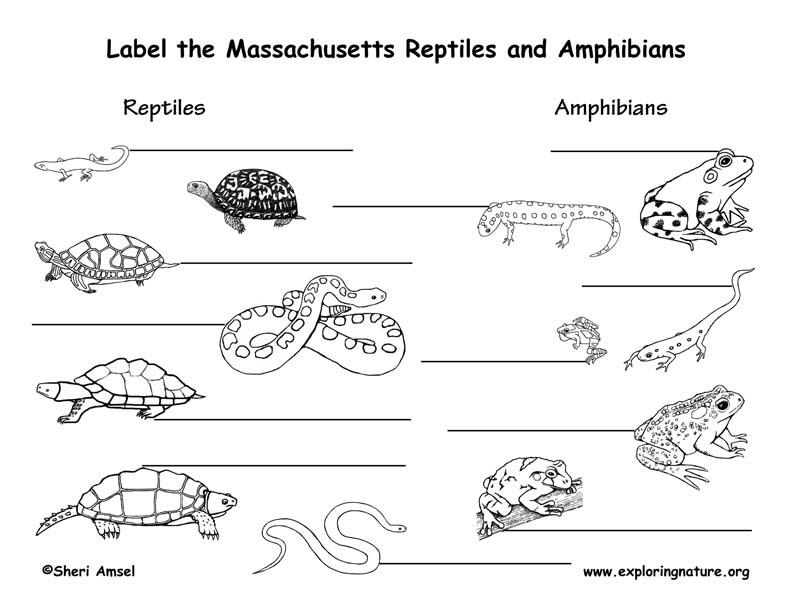 Massachusetts Amphibians and Reptiles labeling