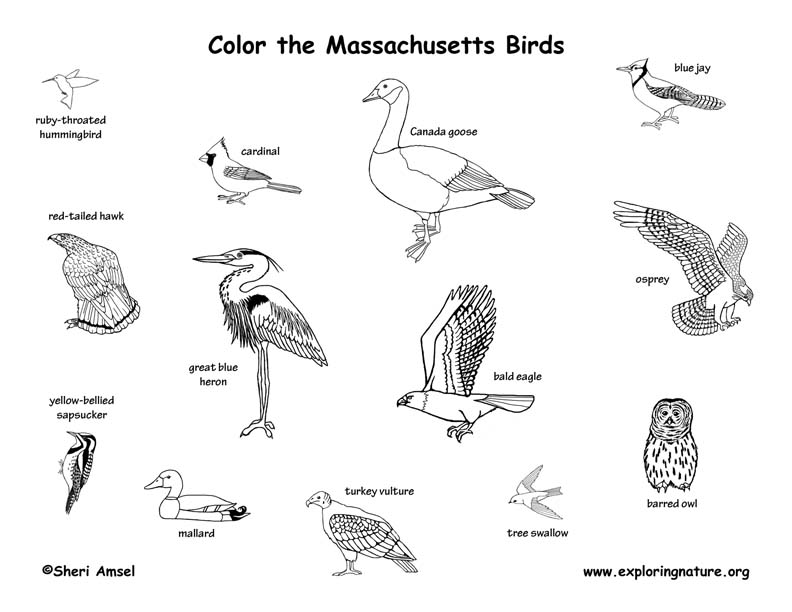 Massachusetts birds coloring